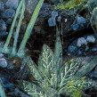 Hedgerow-seapinks-3